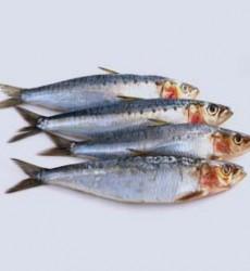 Sardine-Fish